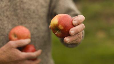 Epler i hender på voksen mann