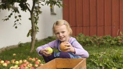 Jente plukker epler