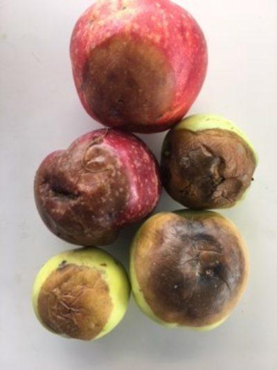 Epler med rateskader