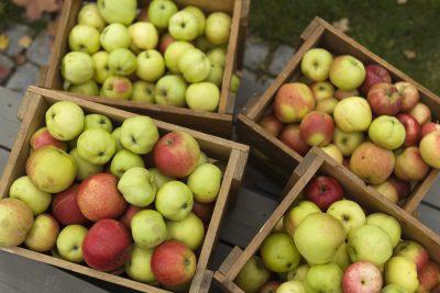 Fire kasser med nyplukkede epler