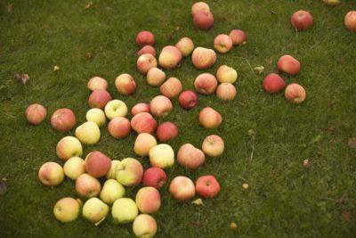 Epler på gressplen